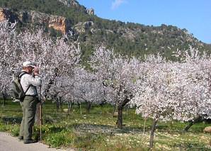 Almond trees in flower